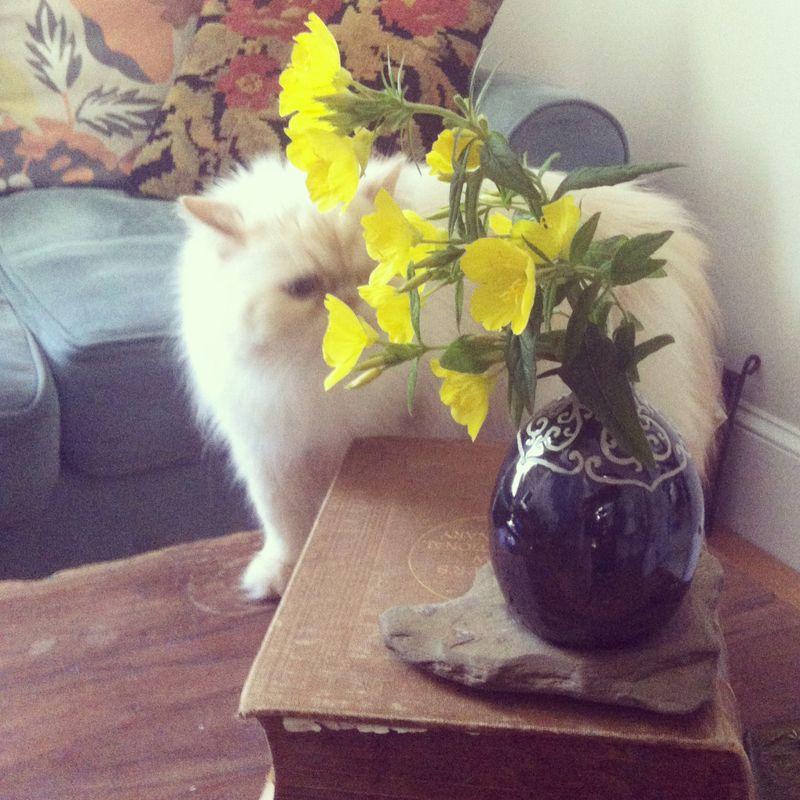 Boo_persian_cat